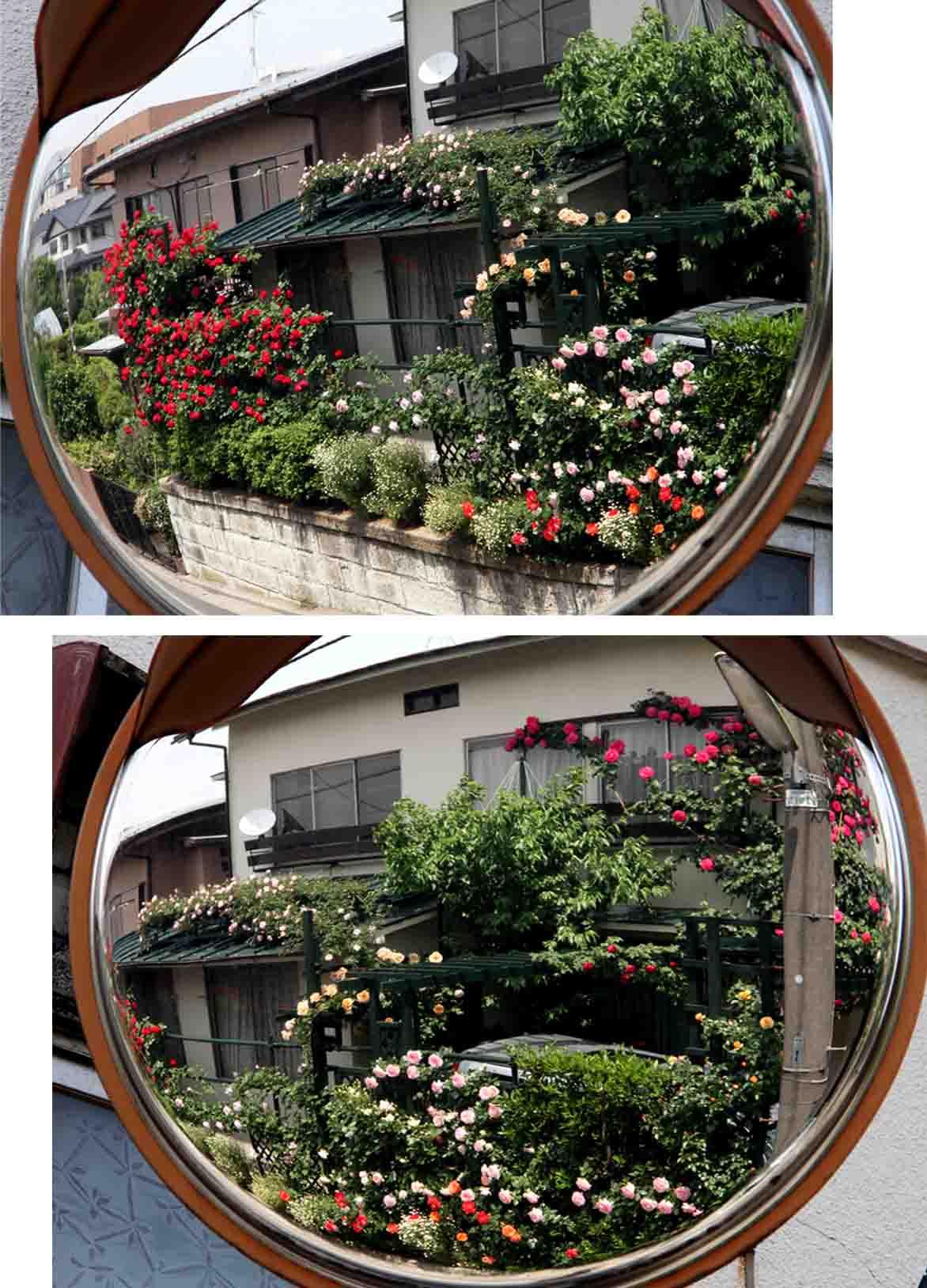 虚像(鏡像)のバラ(5)