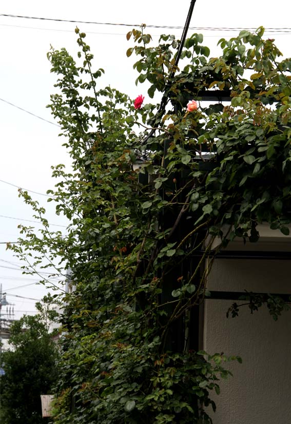 バラのシュート 夏至の頃(7)