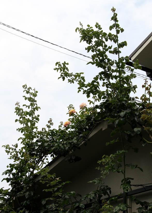 バラのシュート 夏至の頃(8)