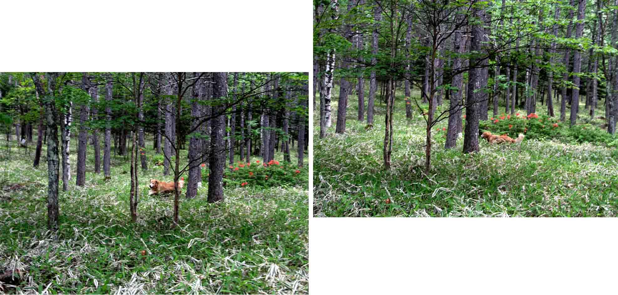 レンゲツツジの咲く林間で(1)