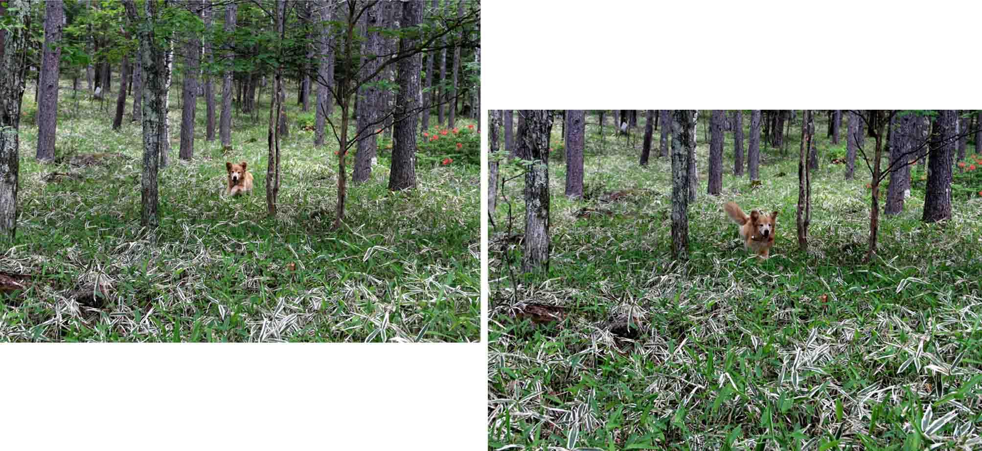 レンゲツツジの咲く林間で(2)