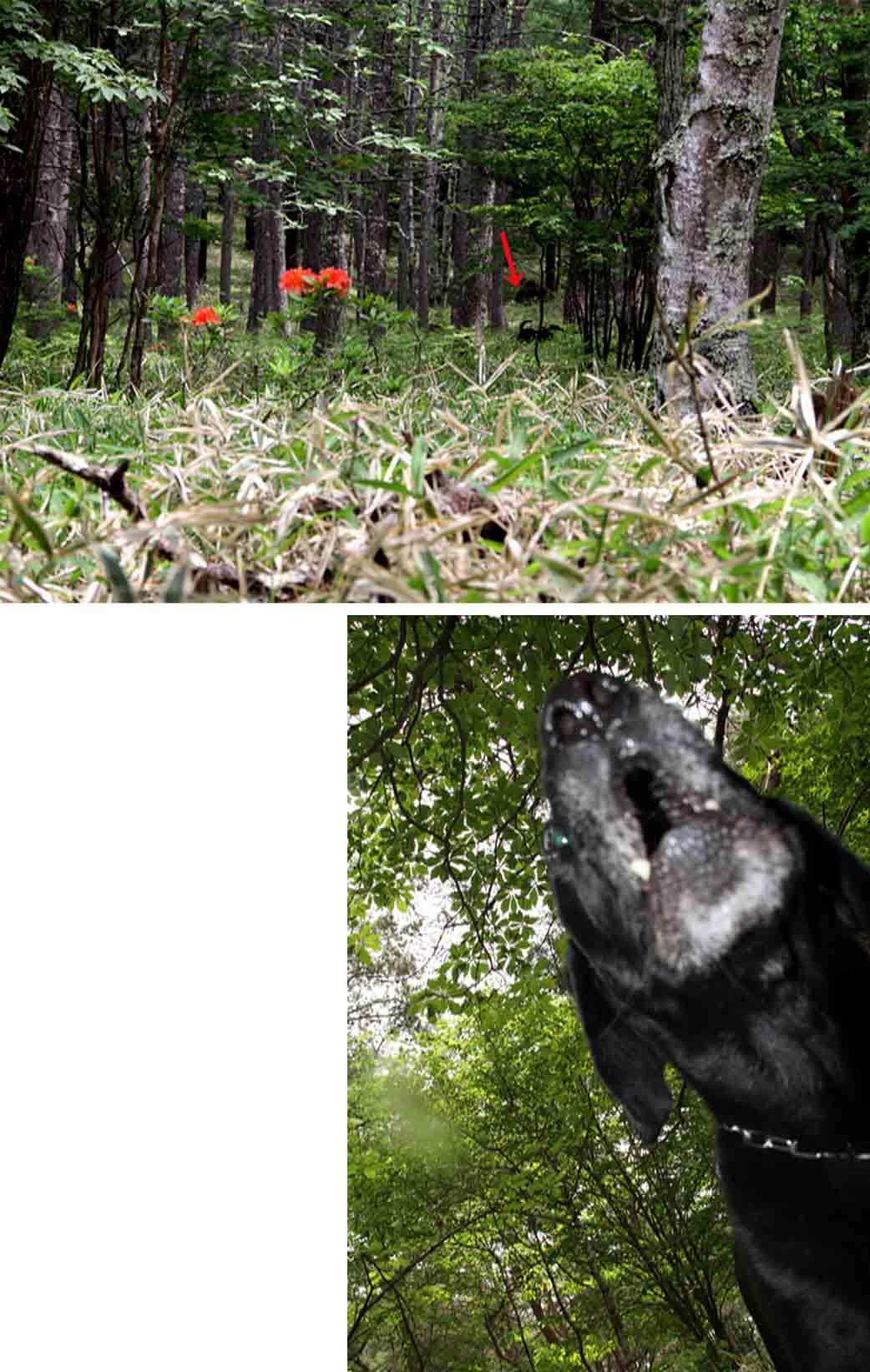 レンゲツツジの咲く林間で(6)
