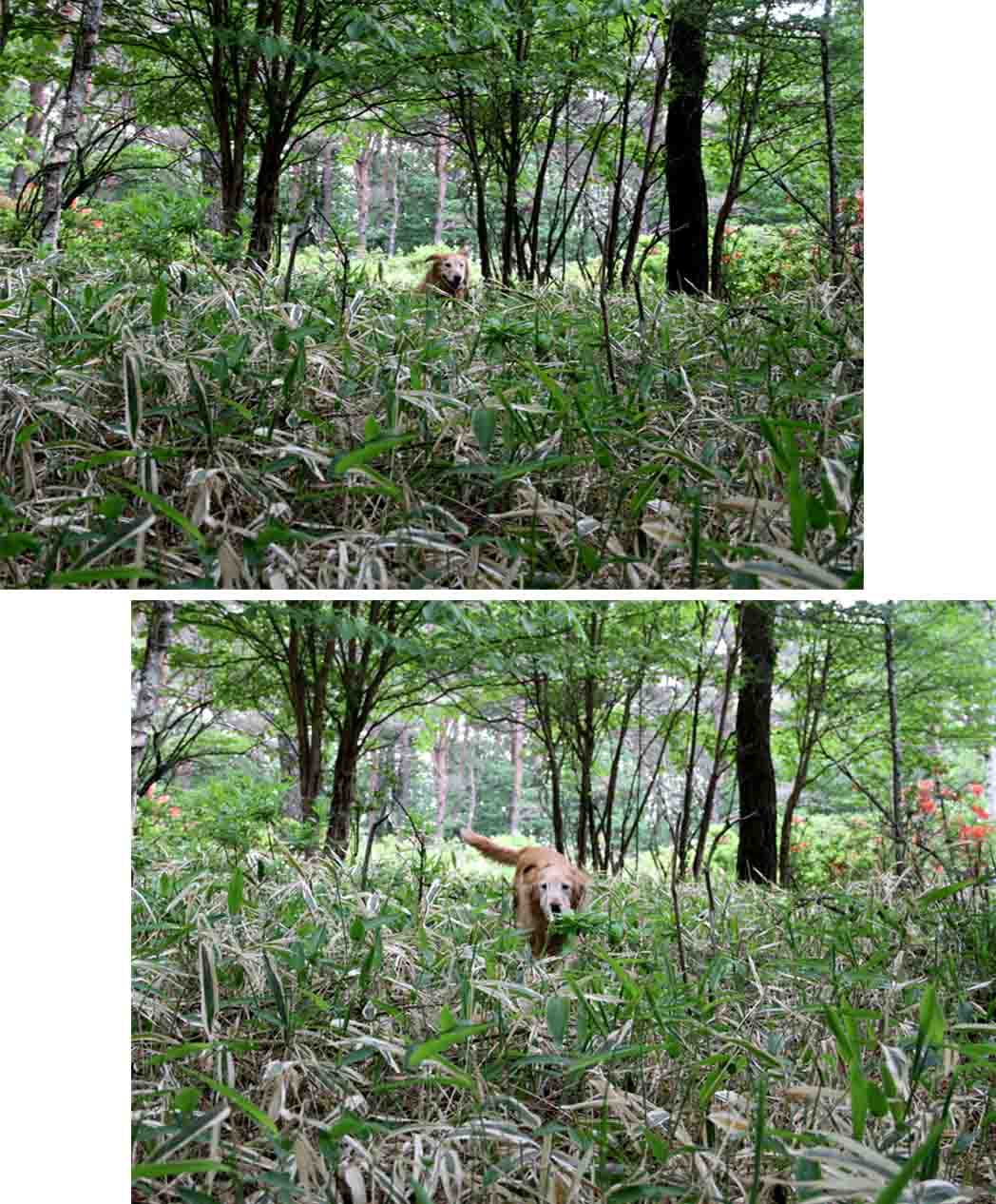 レンゲツツジの咲く林間で(7)