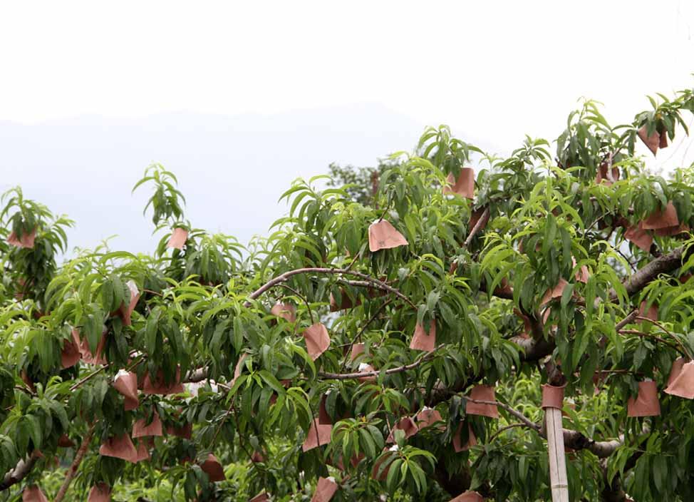 桃畑で(2)