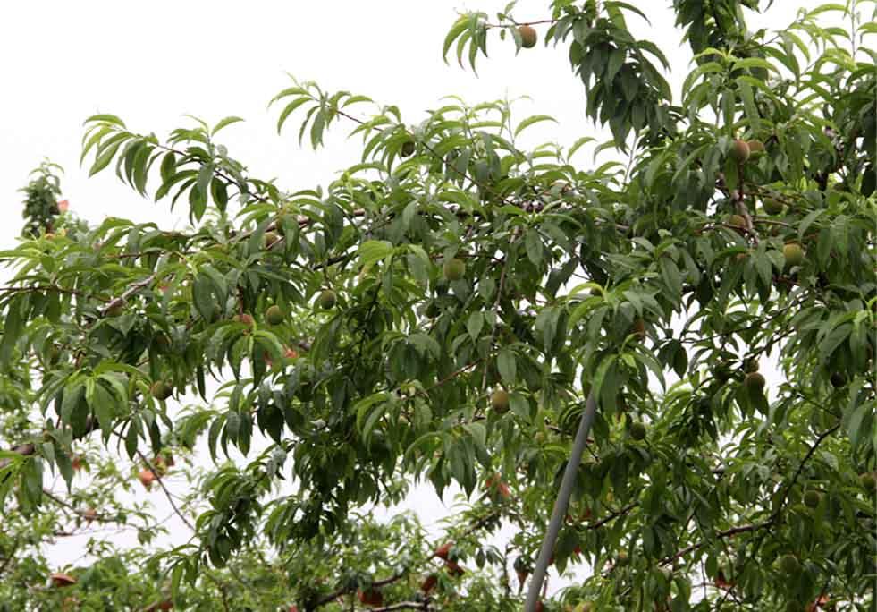 桃畑で(3)