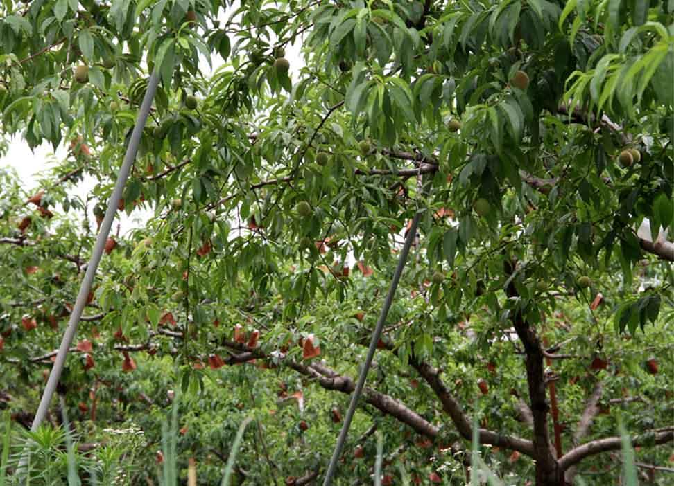 桃畑で(4)