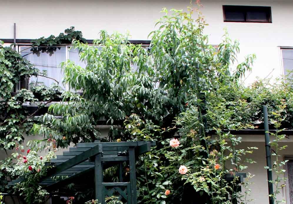 つるバラの中のウチの桃(1)