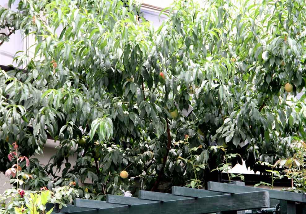 つるバラの中のウチの桃(2)