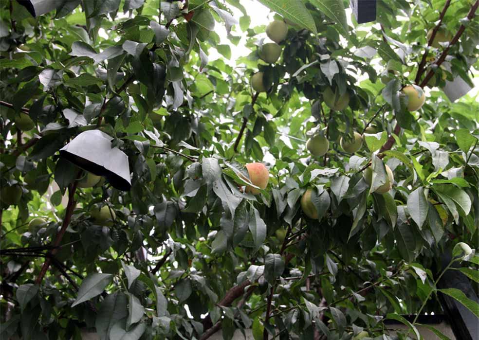 つるバラの中のウチの桃(3)