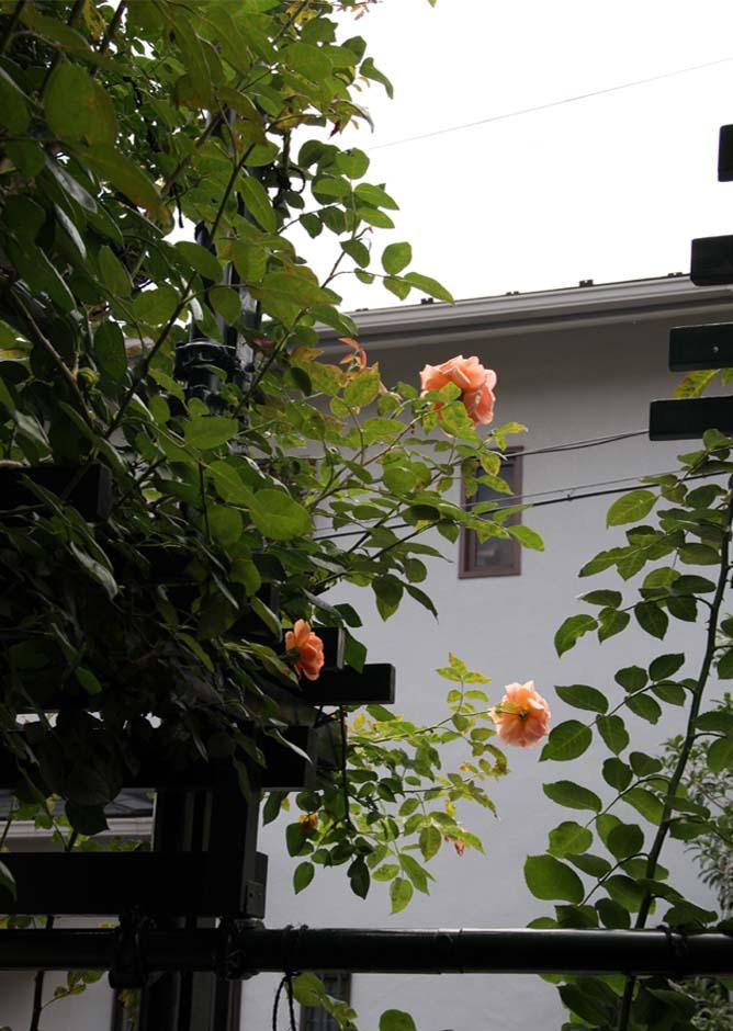 7月初めのバラ模様(3)