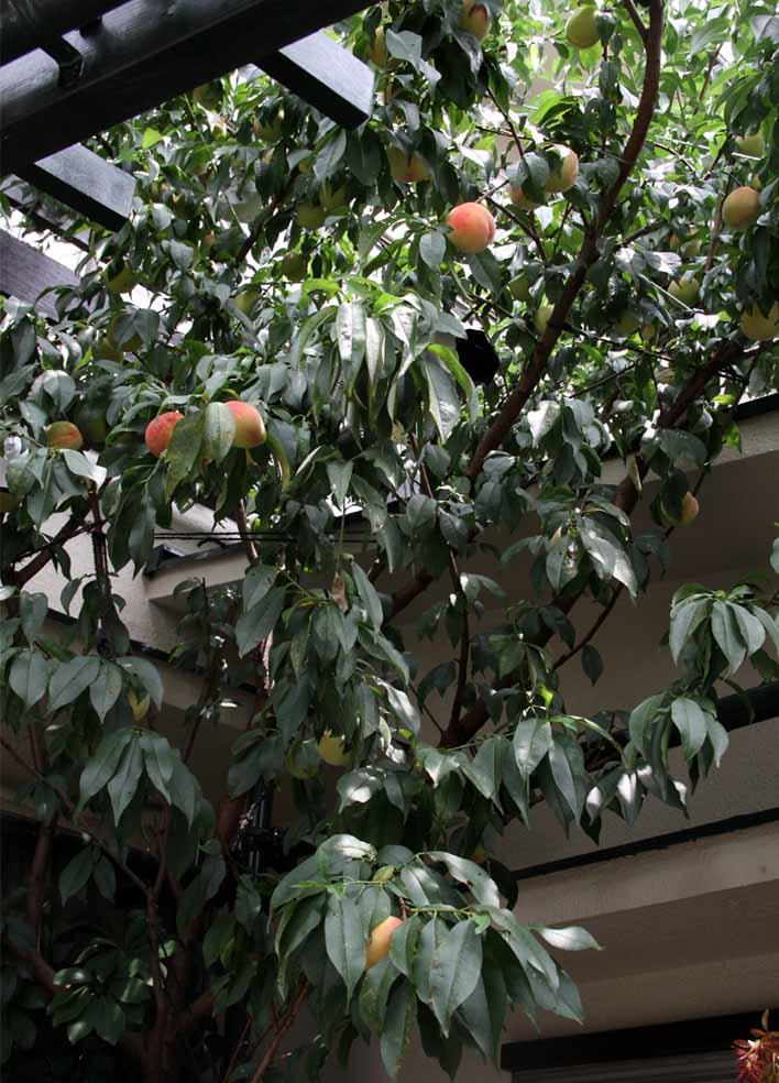 桃の様子 20140706(3)