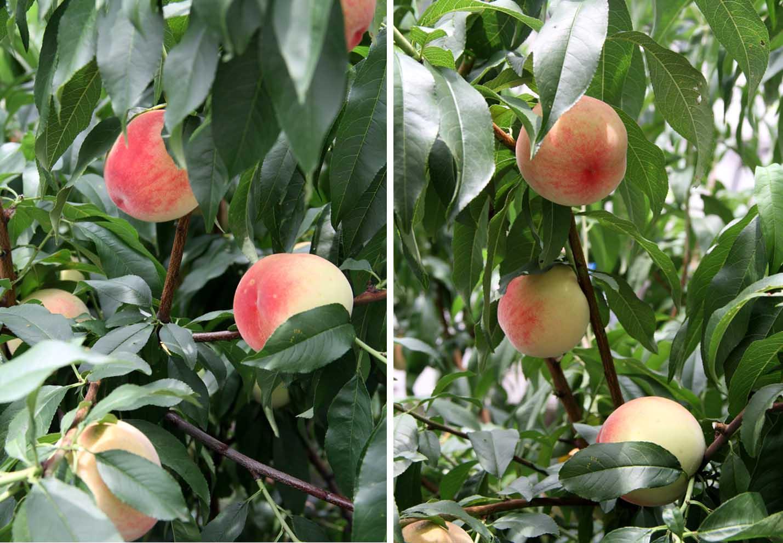 桃の様子 20140706(4)