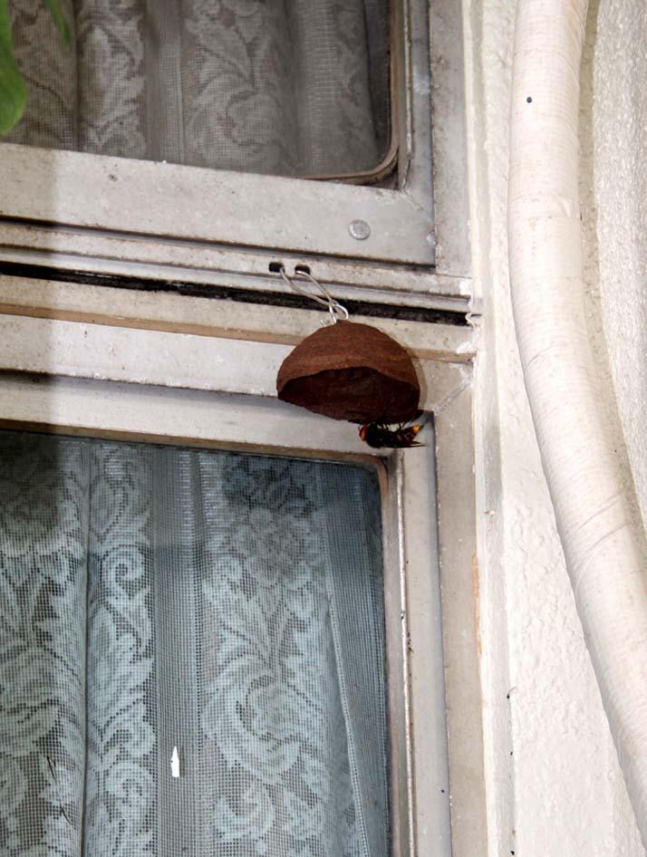 スズメバチの巣作り発見(1)