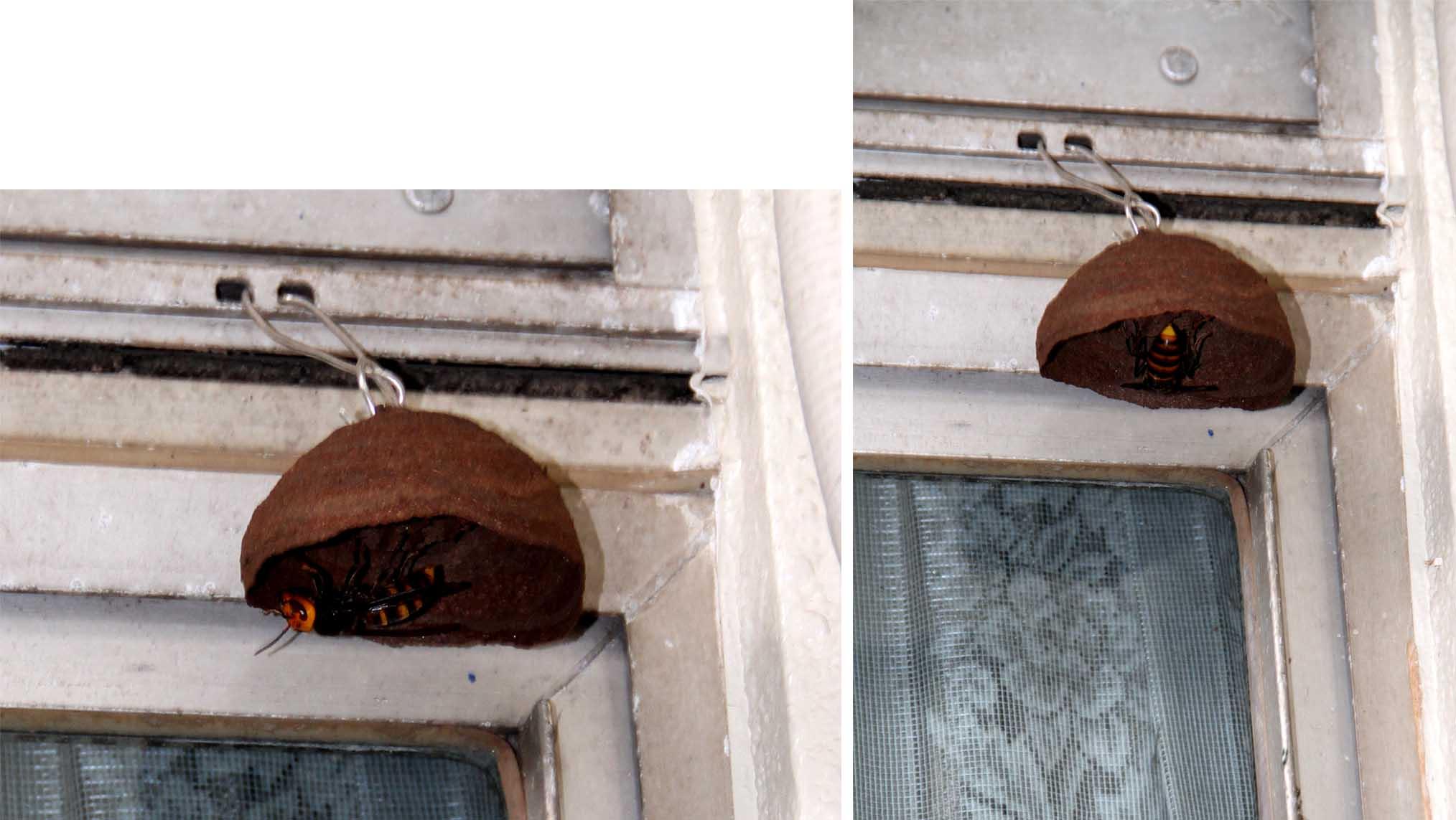 スズメバチの巣作り発見(2)