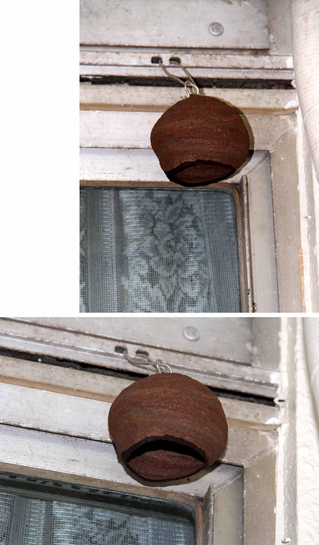 スズメバチの巣作り進行(2)