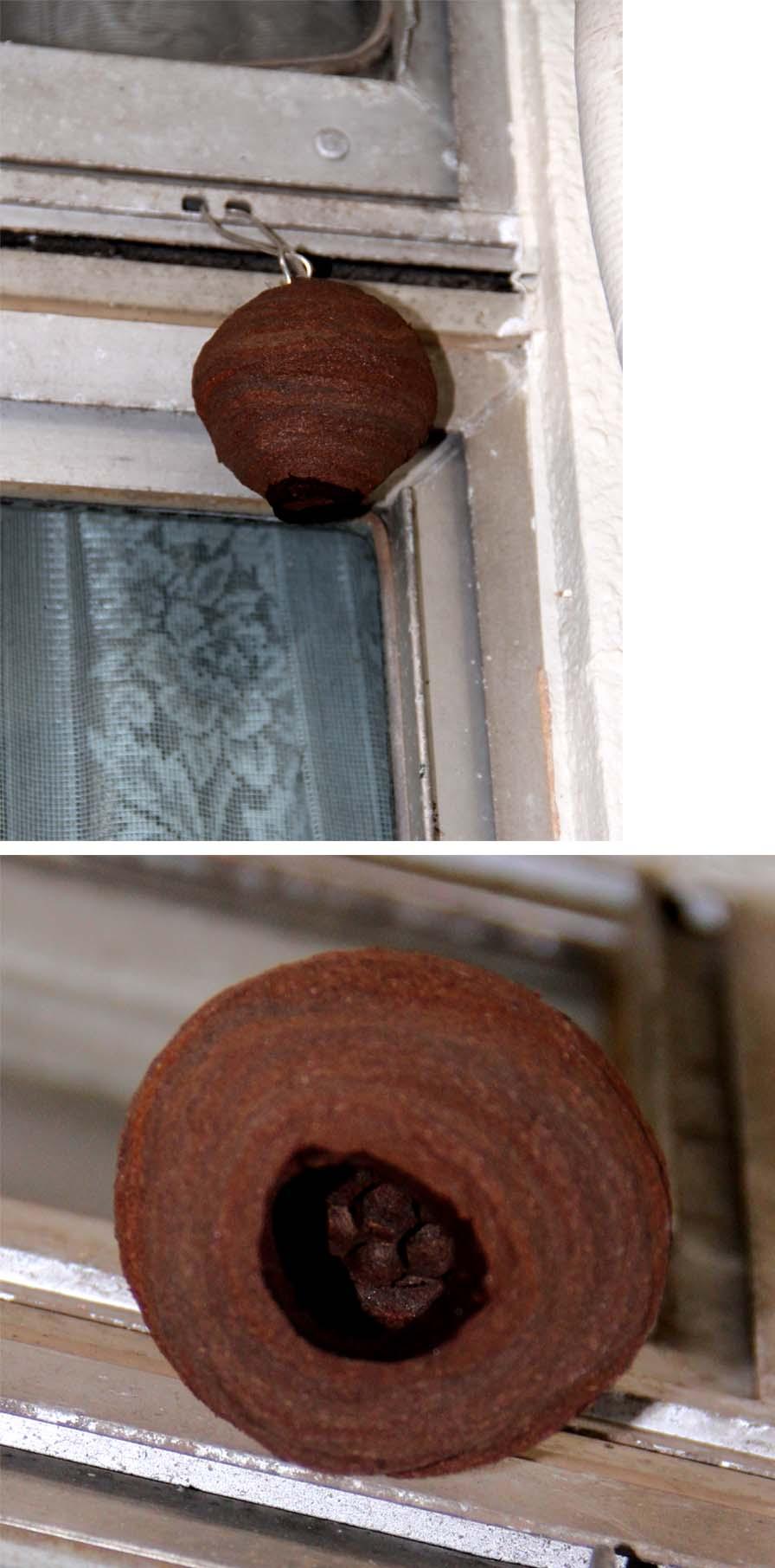 スズメバチの巣作り進行(4)