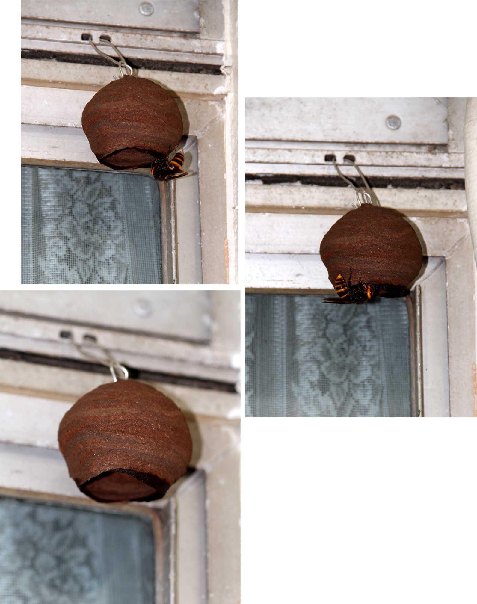 スズメバチの巣作り進行(3)
