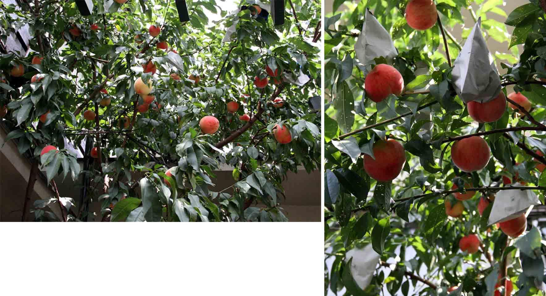 桃の収穫(1)