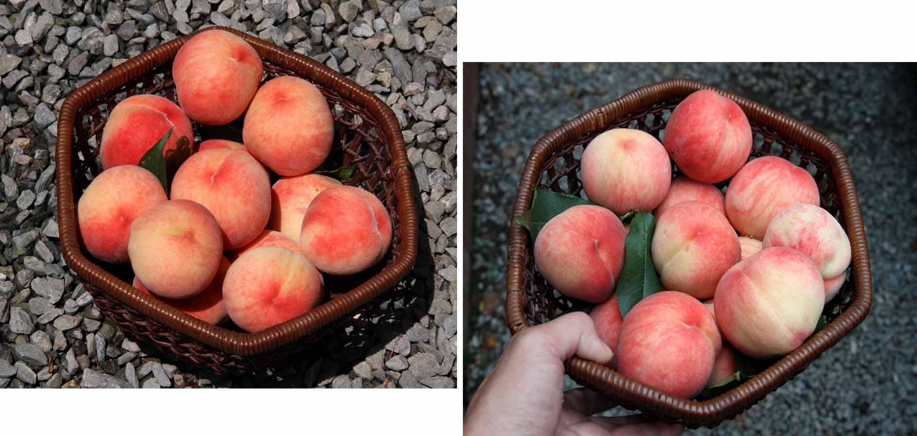 桃の収穫(2)