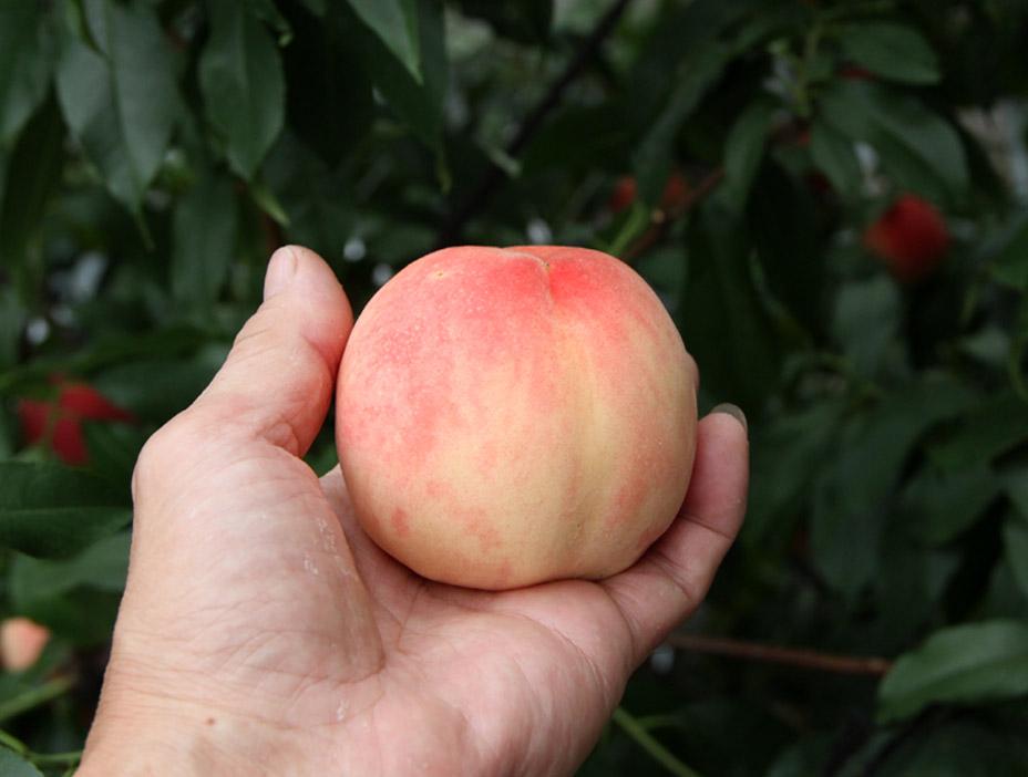 桃の収穫(4)