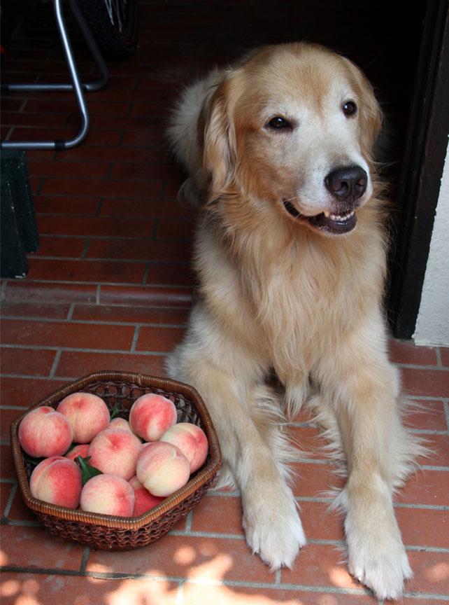 桃の収穫(5)