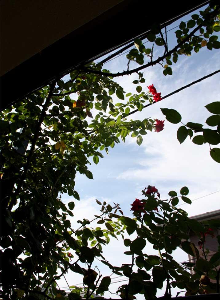 8月のつるバラ模様(1)