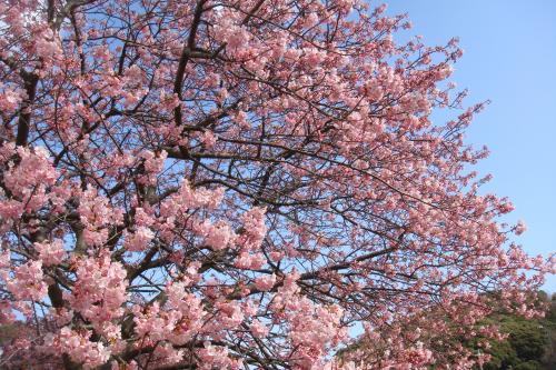 みなみの桜2014