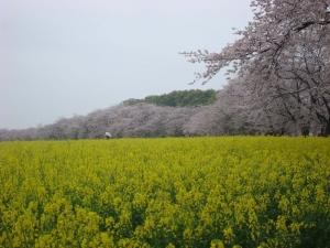 お花見 2014 03 29 01