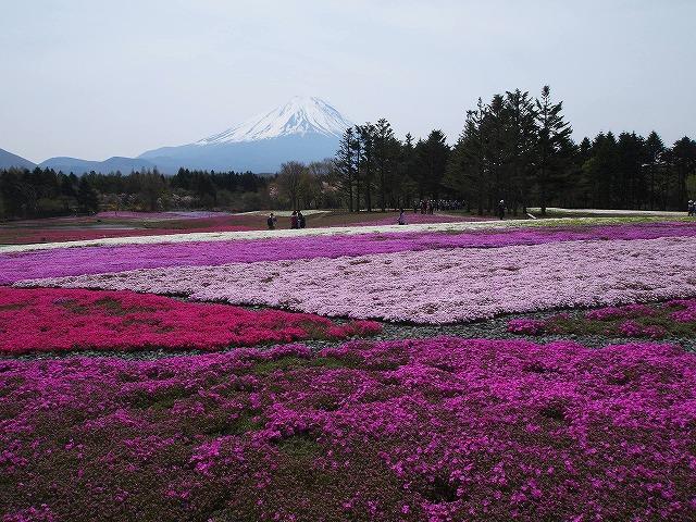 P5091738芝桜