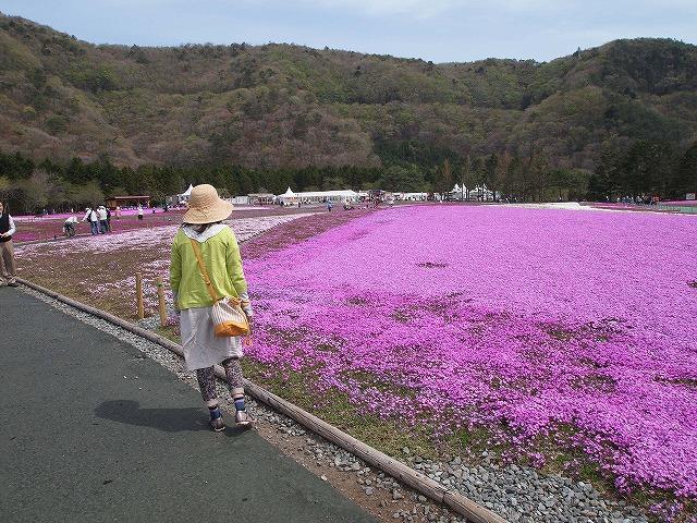 P5091736芝桜