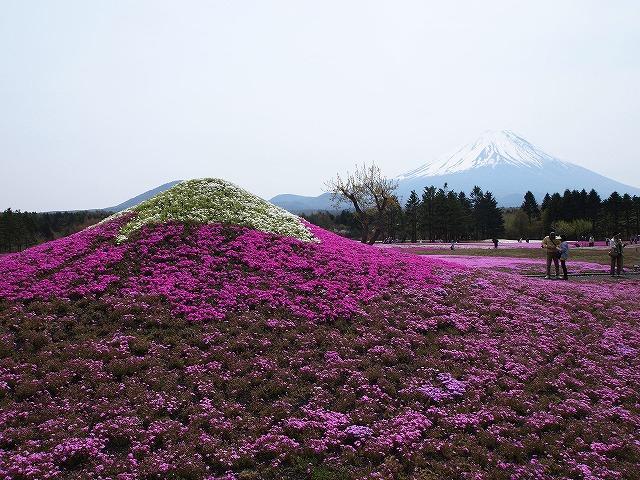 P5091751芝桜