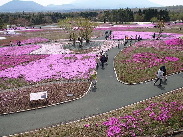 P5091755芝桜
