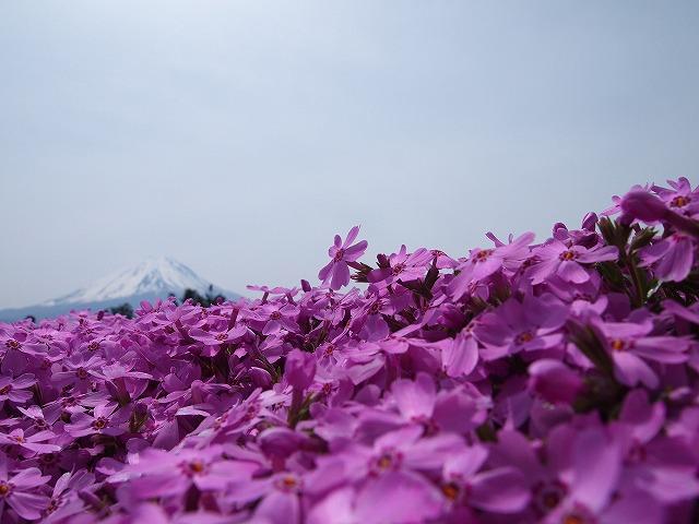 P5091759芝桜