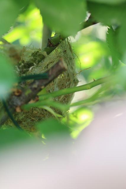 IMG_2464鳥の巣