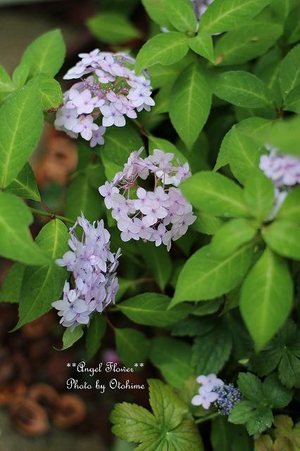 IMG_5177紫陽花