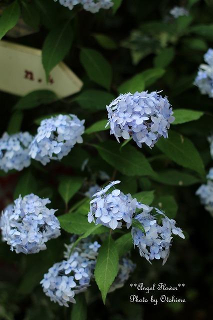 IMG_5175紫陽花