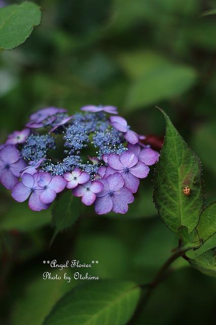 IMG_5205紫陽花