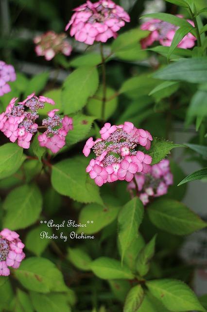 IMG_5165紫陽花