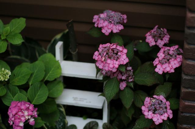IMG_5183紫陽花