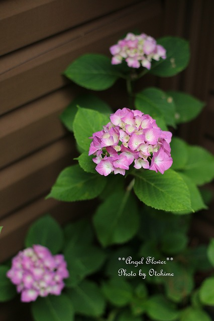 IMG_5187紫陽花