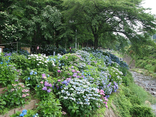 P7042203_01紫陽花公園