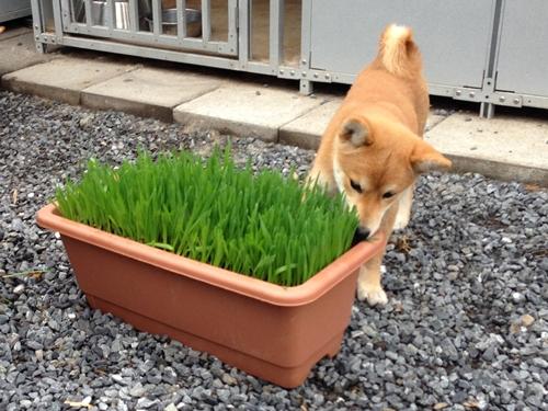 食べる草 ハナ