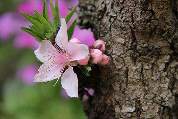 幹に一輪モモの花downsize