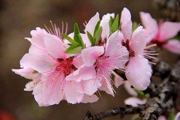 しべも印象的なモモの花downsize