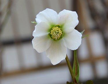 滲む緑が美しい白のクリスマスローズREVdownsize