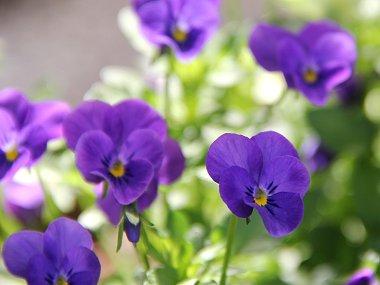 陽に透ける紫のビオラREVdownsize
