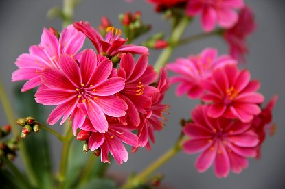 紅の扇を広げたような赤い花downsize