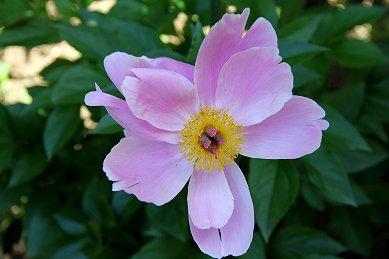 庭の花A IMG_0415 downsize