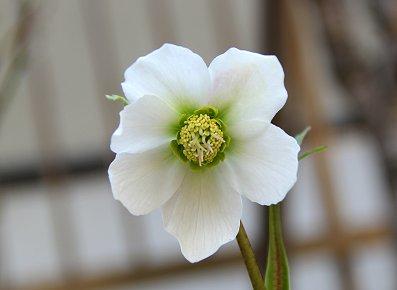 庭の花G IMG_0198 REVdownsize