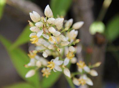 うっすら透ける姿が美しい小さな集合花REVdownsize